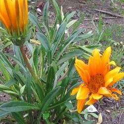 Африканская ромашка - гацания фото и описание сортов, выращивание из семян однолетней и многолетней газании, сочетание цветов на клумбе