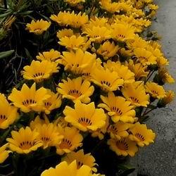 бордюрный цветок